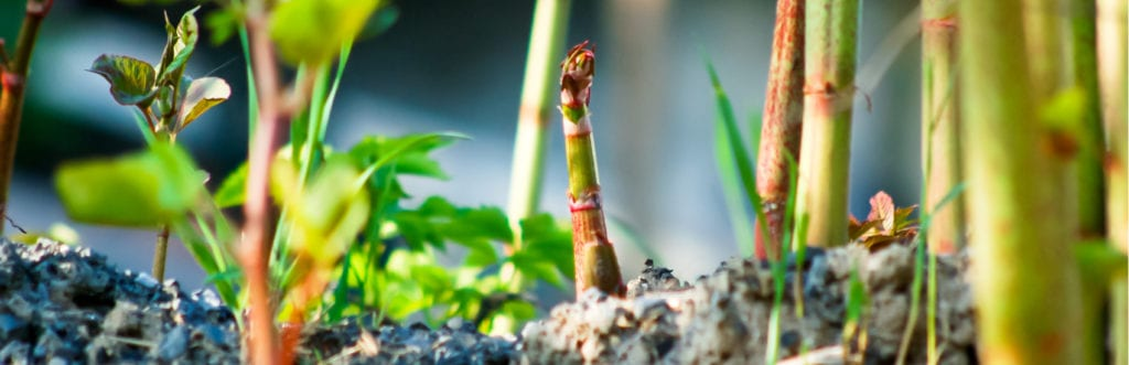 Japanese Knotweed Invasive Plant which Can Cause You Problems Legally