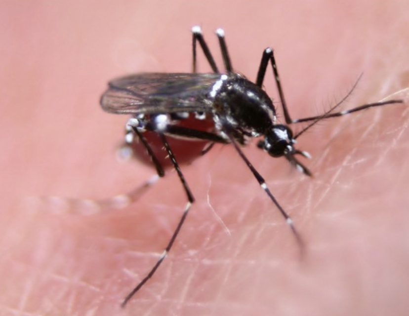 750m Genetically Modified Mosquitoes To Be Released In Florida